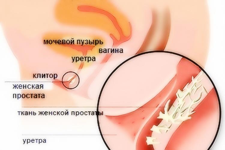 Где находится простата у мужчин фото